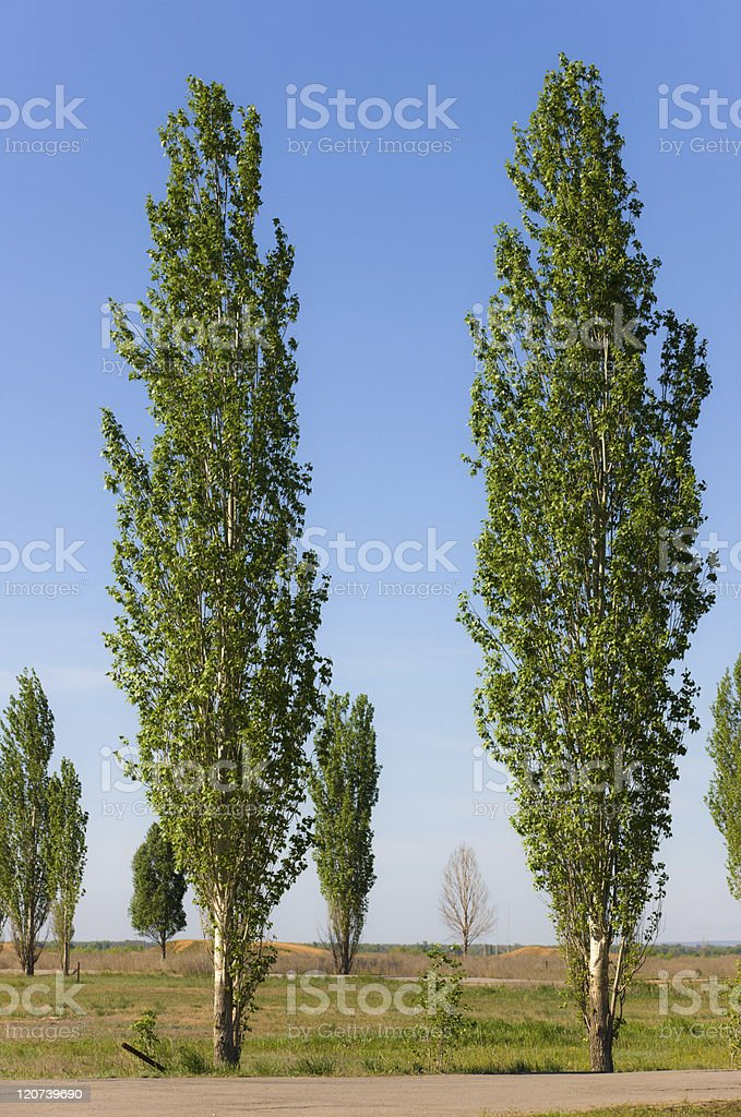 spring poplars royalty-free stock photo