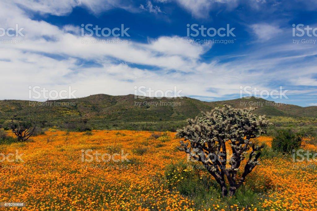 Amapolas de primavera con Cactus de Cholla y un cielo espectacular en Baja California - foto de stock