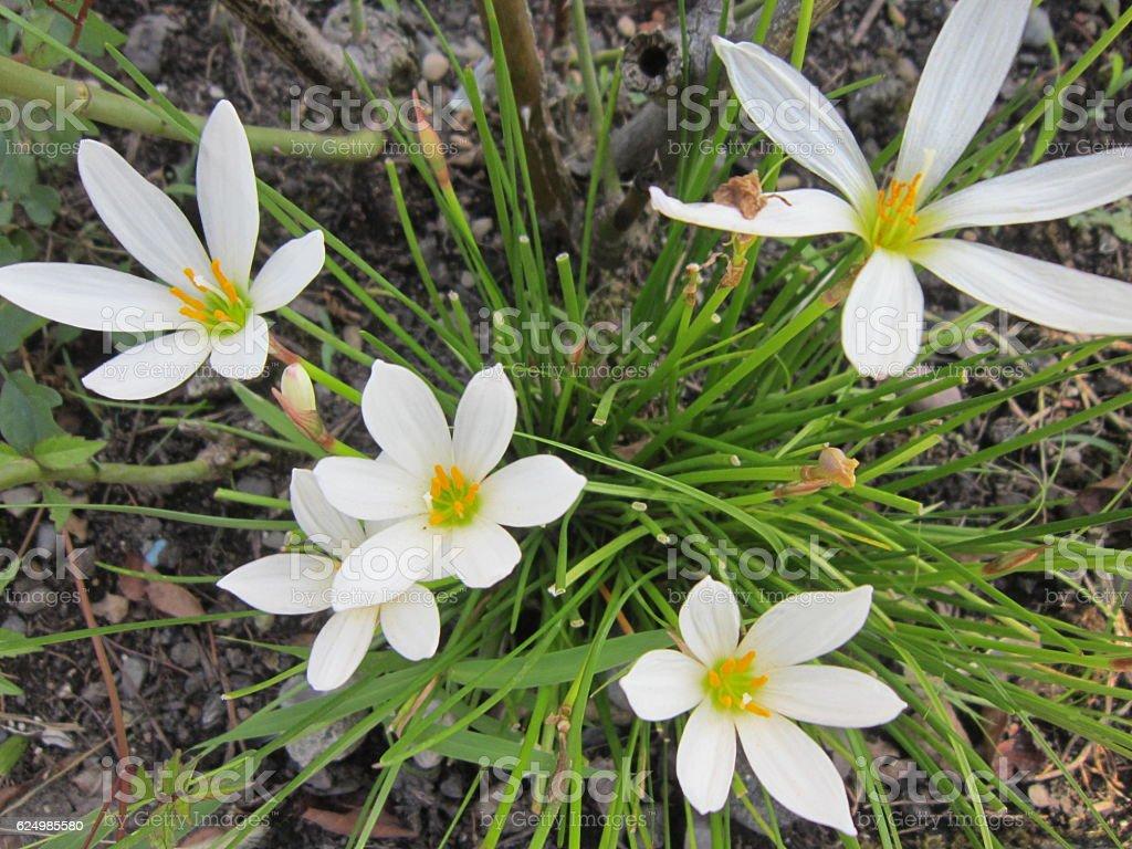 Spring primroses stock photo