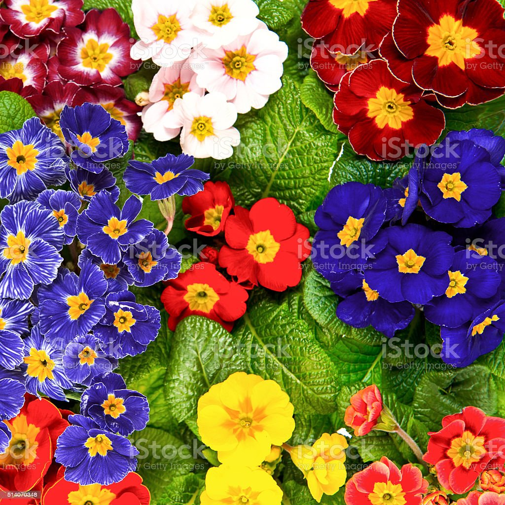 Spring primula flowers. Colorful primrosess stock photo