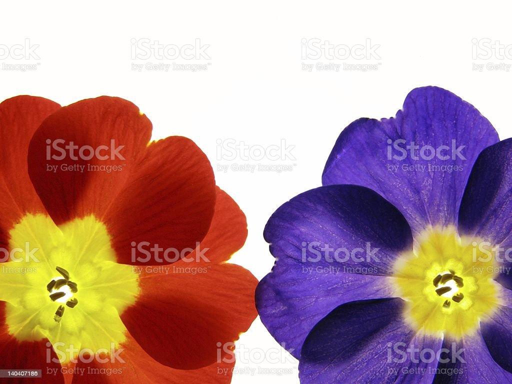 spring primula royalty-free stock photo
