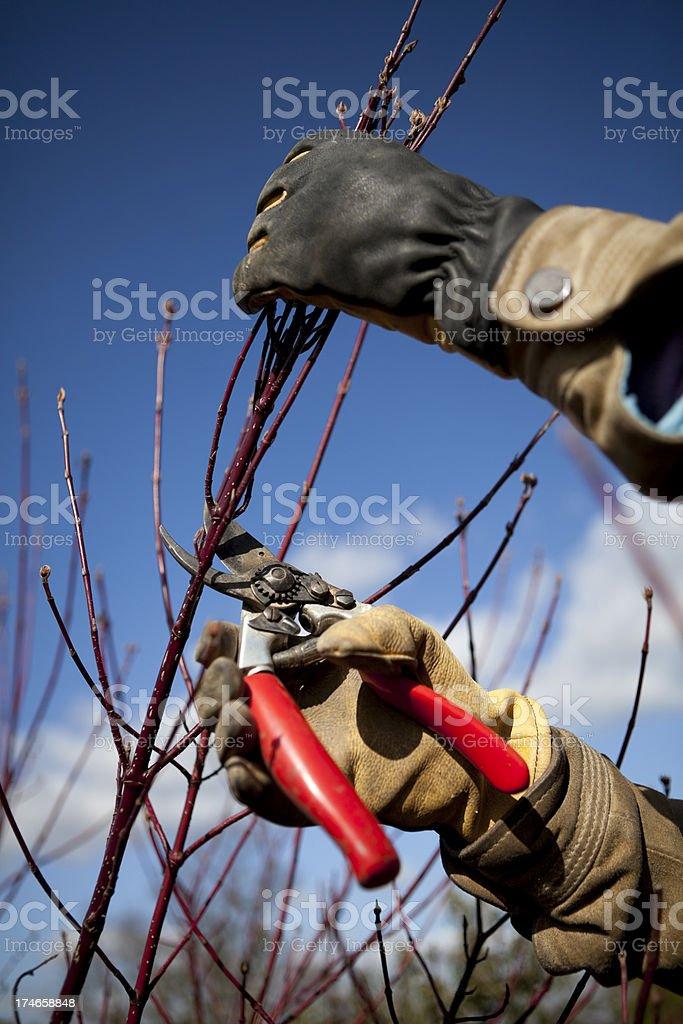 Spring Pruning royalty-free stock photo