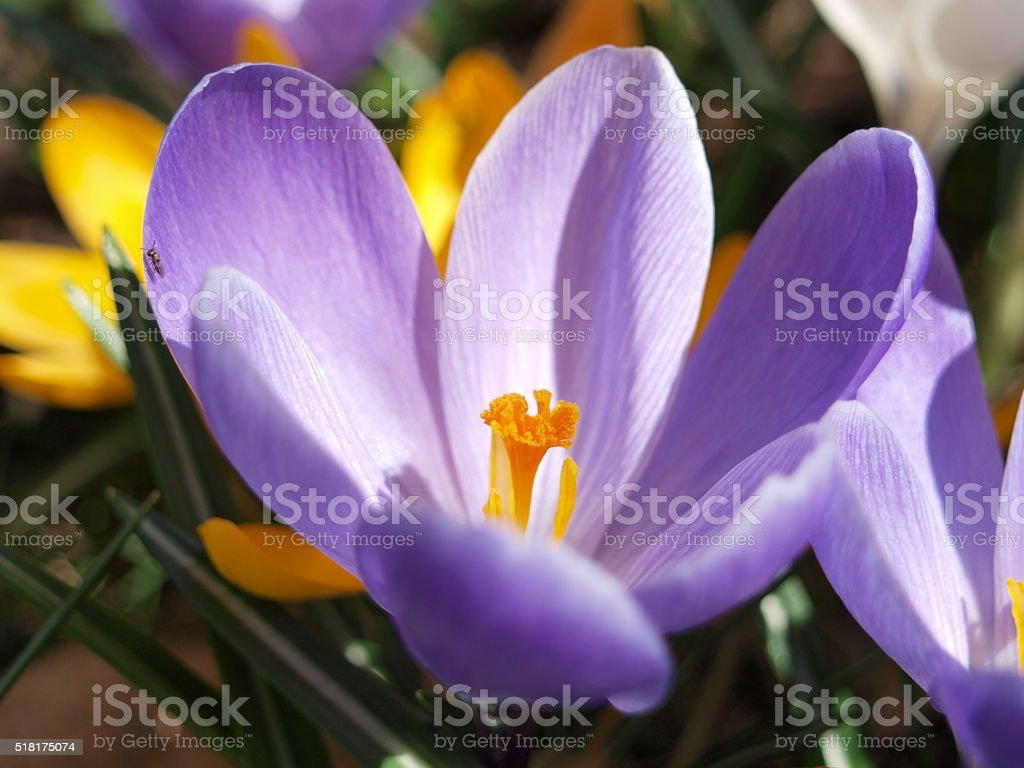 Spring purple crocus stock photo