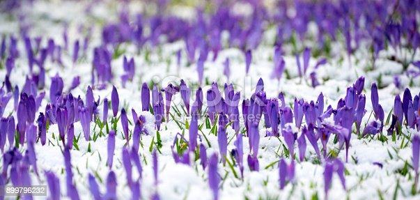 639394370 istock photo Spring purple crocuses 899796232