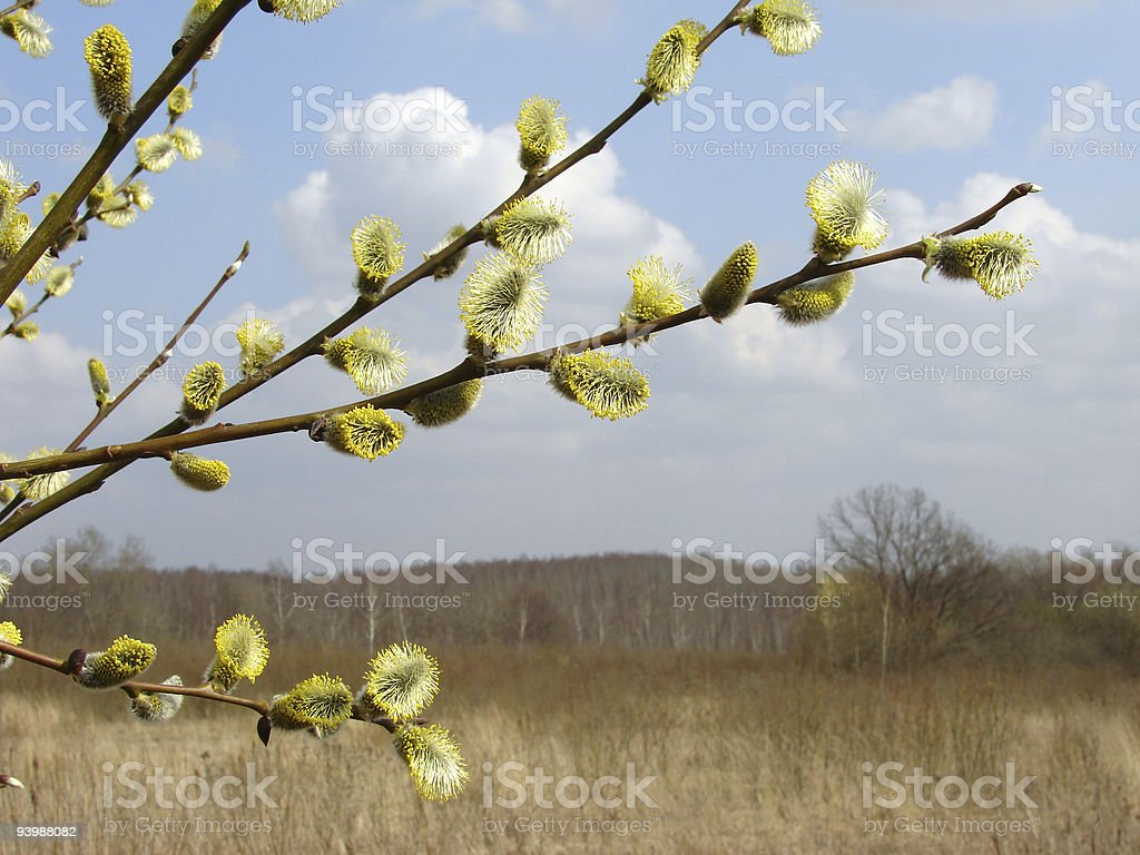 spring pussy willow stock photo