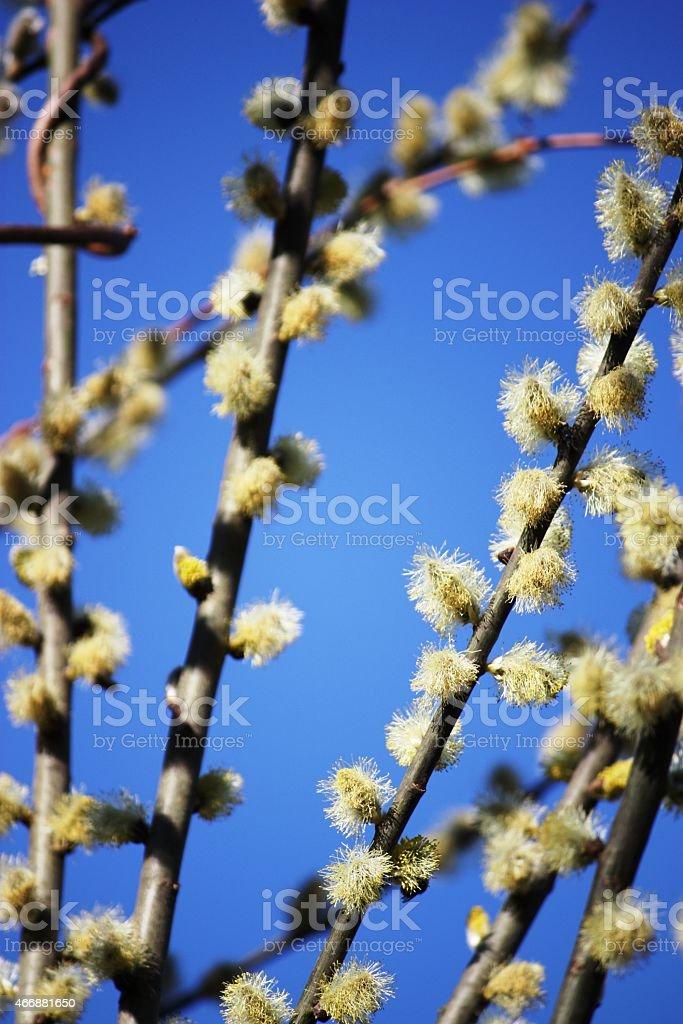 Photo Libre De Droit De Cest Le Printemps En Fleurs Saule