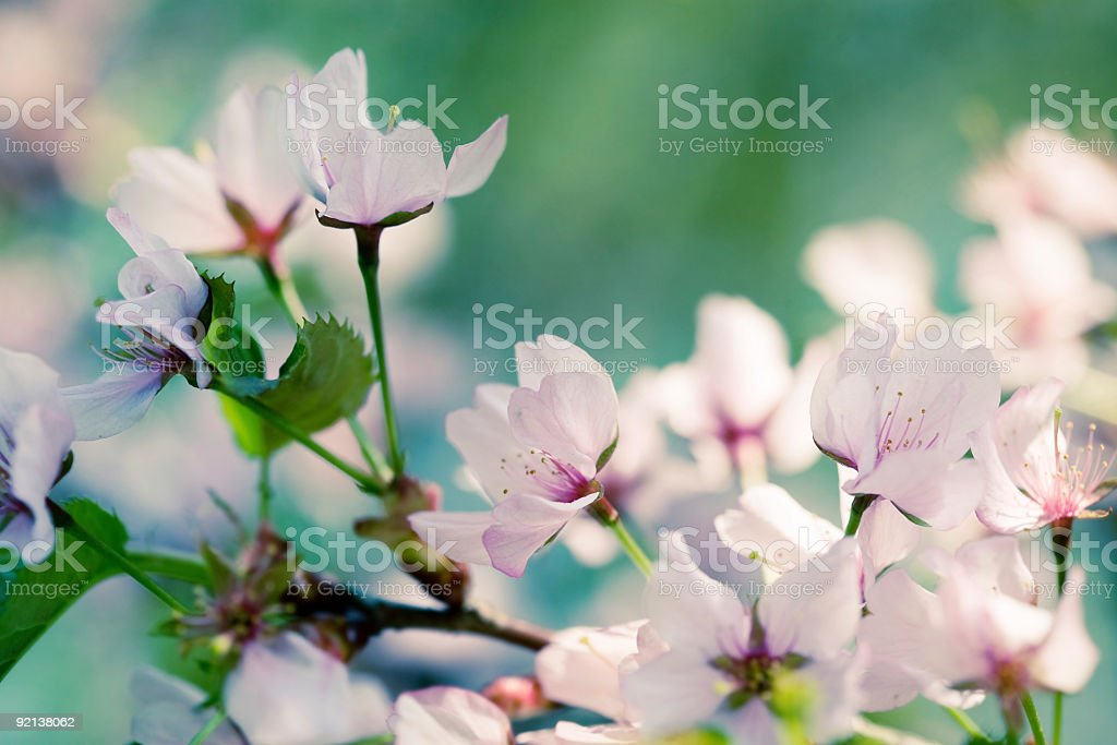Spring sacura blossoms royalty-free stock photo