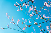 Cherry tree flowers on the blue sky background