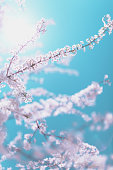 Plum tree flowers on the blue sky background. Pastel color toned.