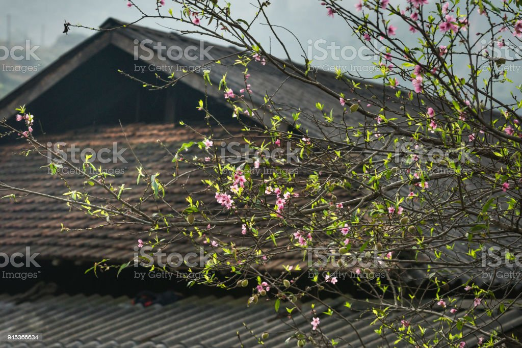 Spring scene when flowers peach blossom in ethnic minority villages in Dong Van, Ha Giang stock photo