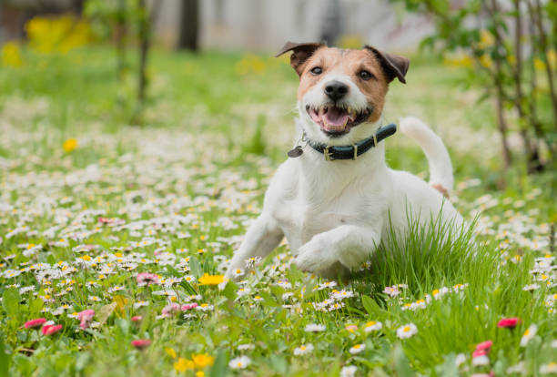 Spring scene with happy dog playing on flowers at fresh green grass lawn Cheerful Jack Russell Terrier running at camera collar stock pictures, royalty-free photos & images