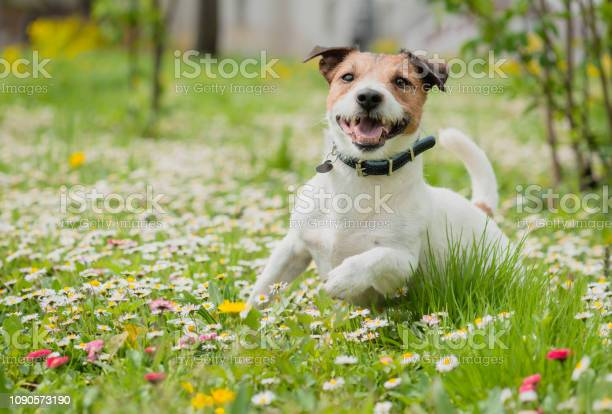 Photo of Spring scene with happy dog playing on flowers at fresh green grass lawn