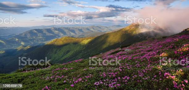Photo of Spring scenery. Panoramic view in lawn are covered by pink rhododendron flowers. Beautiful photo of mountain landscape. Concept of nature rebirth. Blue sky with cloud.