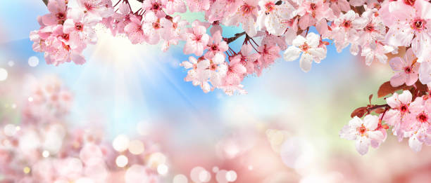 Spring scenery with pink cherry blossoms stock photo