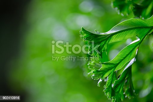 istock Spring scenes of green fern in the garden with abstract green soft nature background and wallpaper 902410916