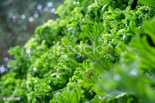 istock Spring scenes of green fern in the garden with abstract green soft nature background and wallpaper 904057058