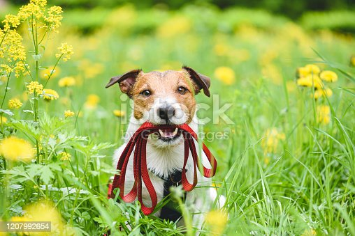 Jack Russell Terrier dog with red leash