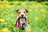 istock Spring season concept with dog holding leash in mouth inviting to go for walk outdoor 1207992654