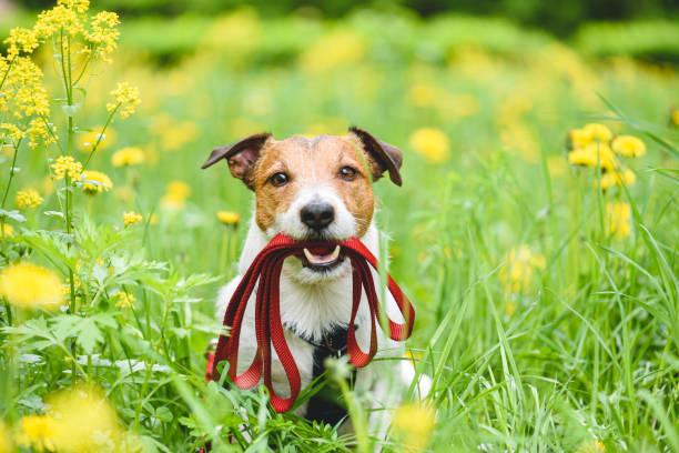 Het seizoenconcept van de lente met hond die leiband in mond houdt die uitnodigt om voor gang openlucht te gaan foto