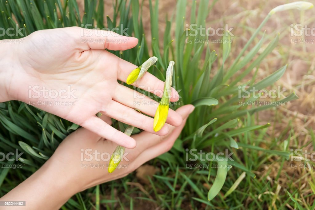 Spring shoots of narcissus. Trumpet daffodil. lent lily. stock photo
