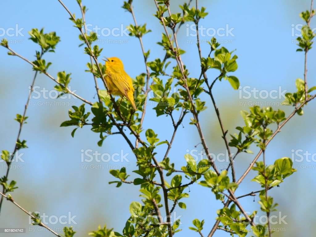 Spring Singing Yellow Warbler stock photo