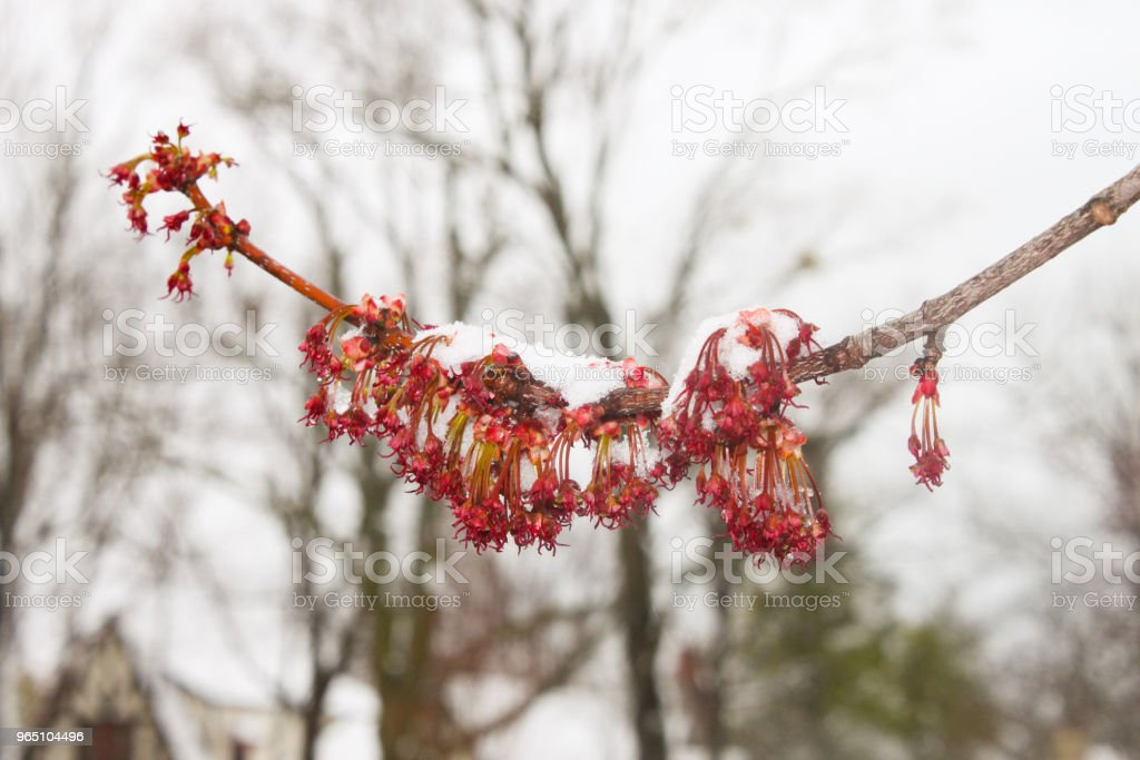 Spring snow on blooming tree branch with bare trees in the background royalty-free stock photo