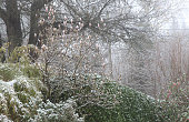 Snow on the garden with opening buds of magnolia soulangeana, weather