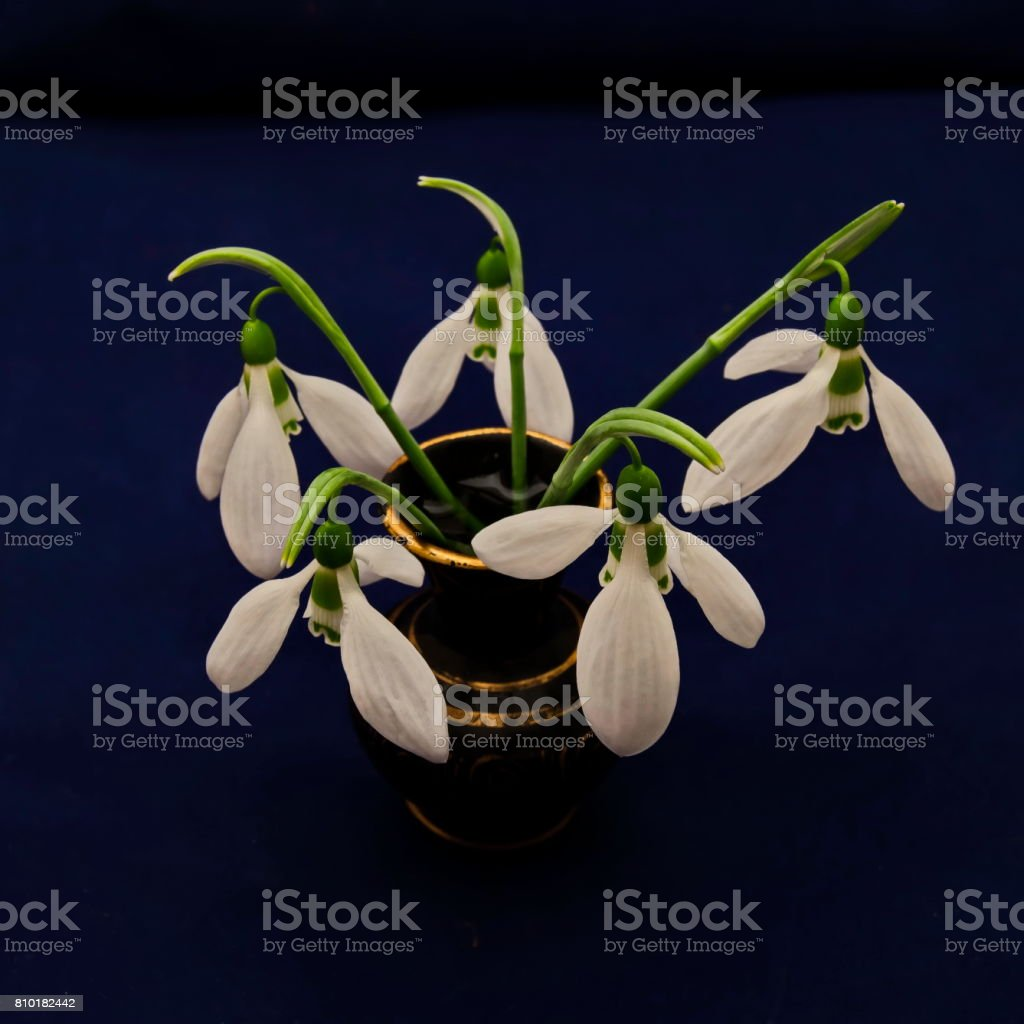 Spring snowdrop flower bouquet in porcelain vase at blue background stock photo