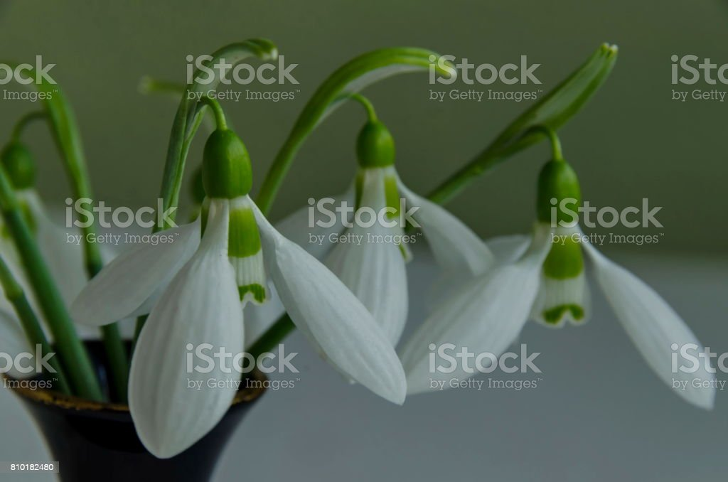 Spring snowdrop flower macro in porcelain vase at light background stock photo