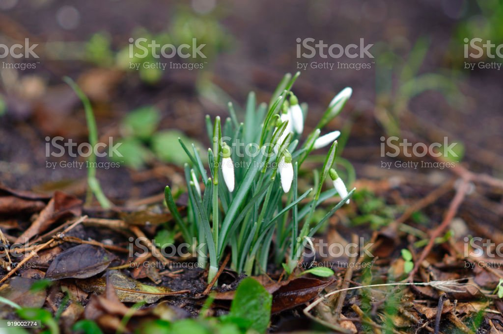 Spring snowdrop flowers in the ground stock photo