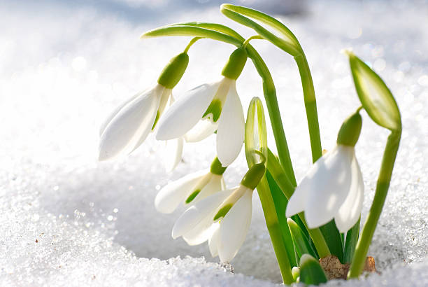 spring snowdrop flowers - snowdrops stock photos and pictures