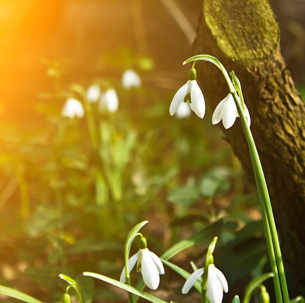 Spring snowdrops – Foto