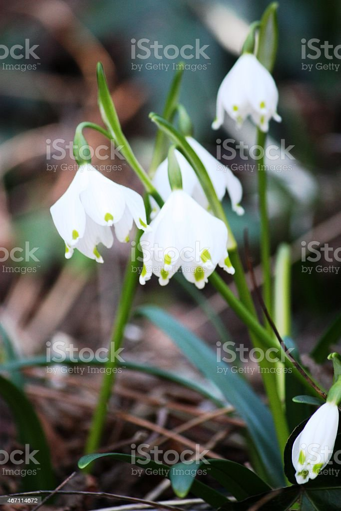 Spring snowflake Blooming (Leucojum vernum) stock photo