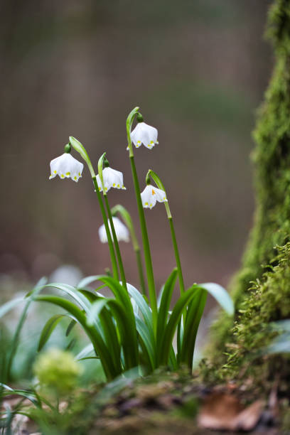 frühling schneeflockenblume (leucojum vernum) während der blüte - leucojum stock-fotos und bilder