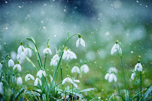 spring snowflake in snow storm - snowdrops stock photos and pictures