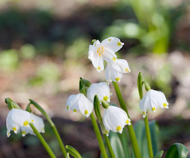 spring snowflake (leucojum vernum) - leucojum stock-fotos und bilder
