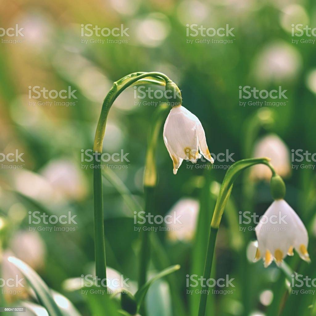 Spring snowflakes flowers beautiful blooming flowers in forest with spring snowflakes flowers leucojum vernum carpaticum beautiful blooming flowers in forest with natural izmirmasajfo