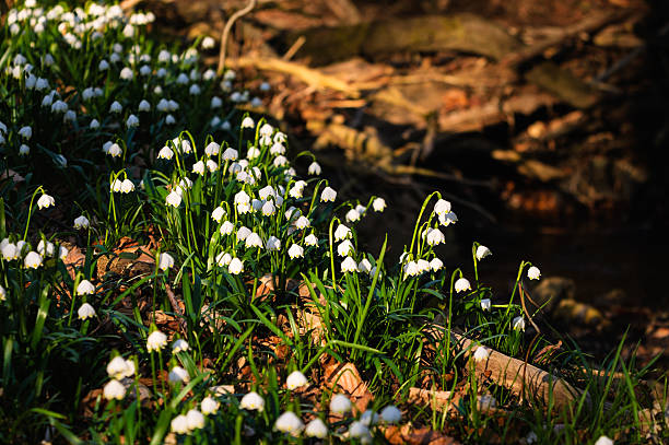 frühling schneeflocken blumen-leucojum vernum carpaticum - leucojum stock-fotos und bilder