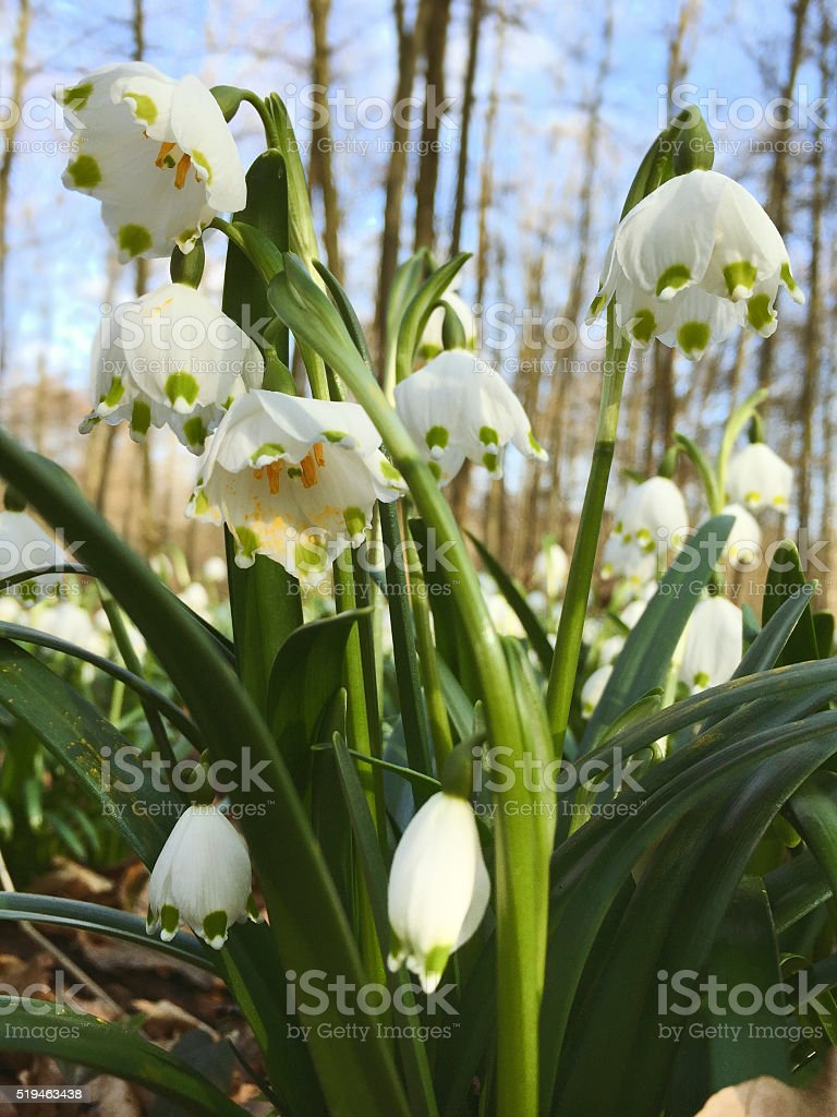 Spring snowflakes in European Forest, Thuringia, National Park H stock photo