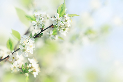 Spring soft background with fresh apple blossom flowers