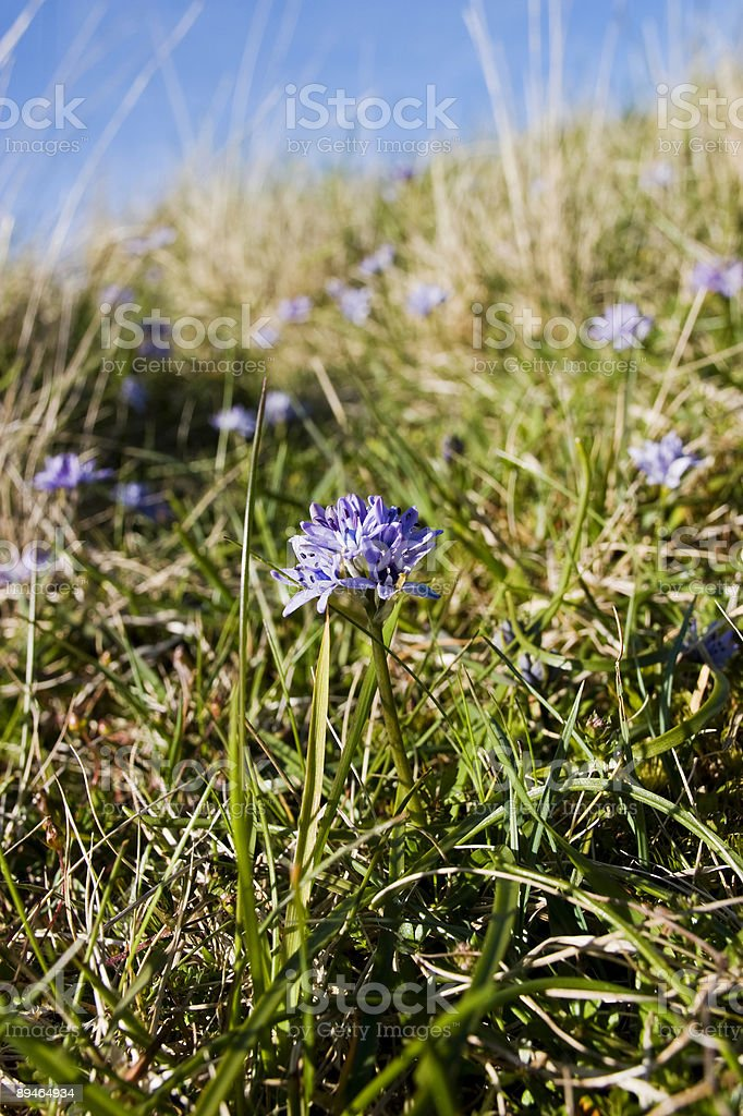 Spring Squill royalty-free stock photo