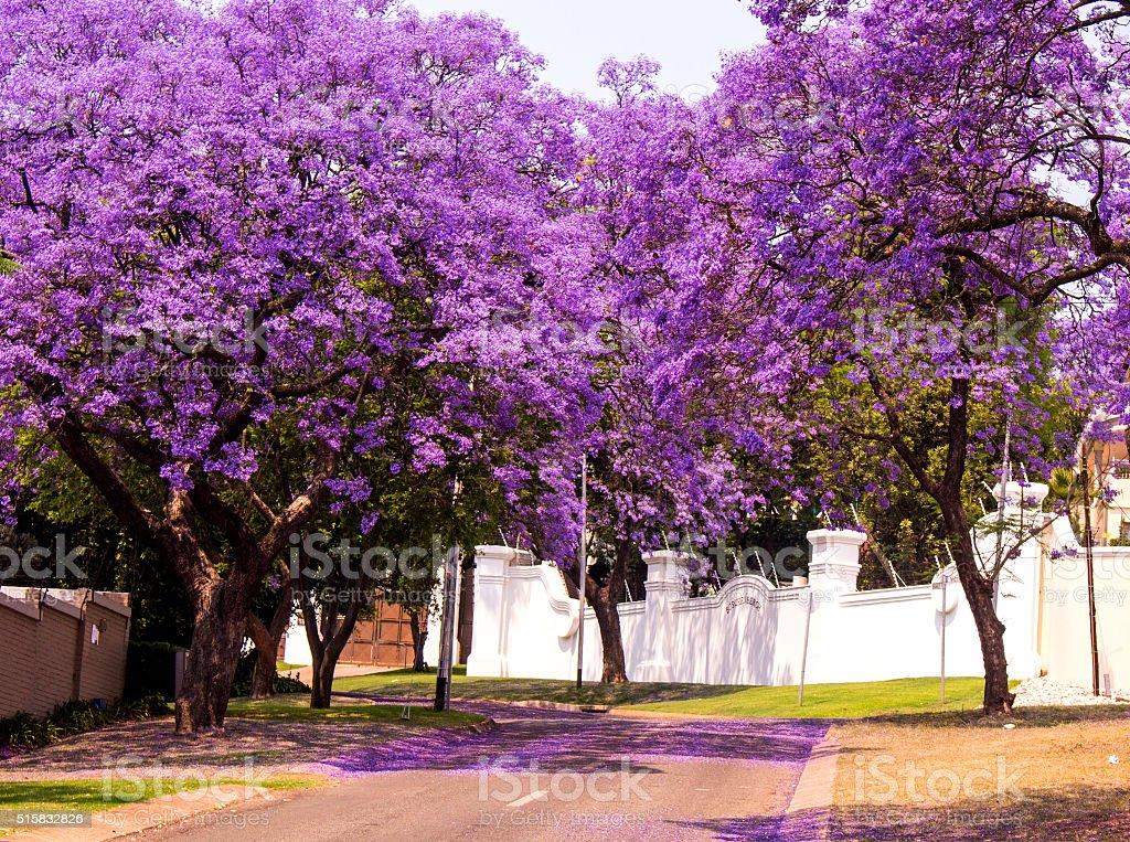 Spring street with beautiful violet vibrant jacaranda in bloom. stock photo