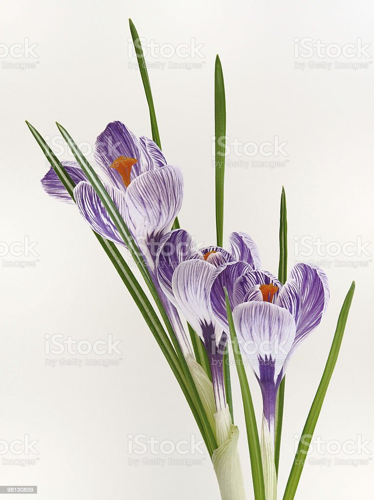 Spring striped crocuses royalty-free stock photo