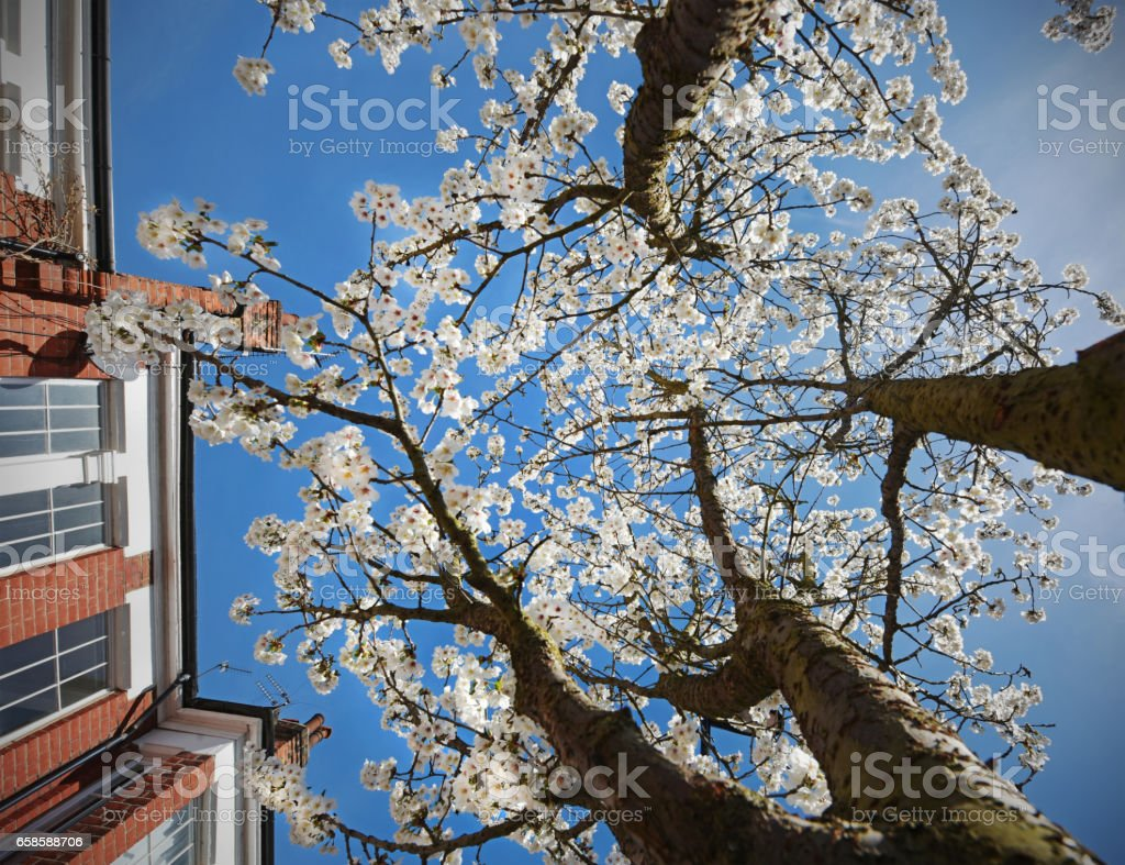 Spring Suburban Blossom stock photo