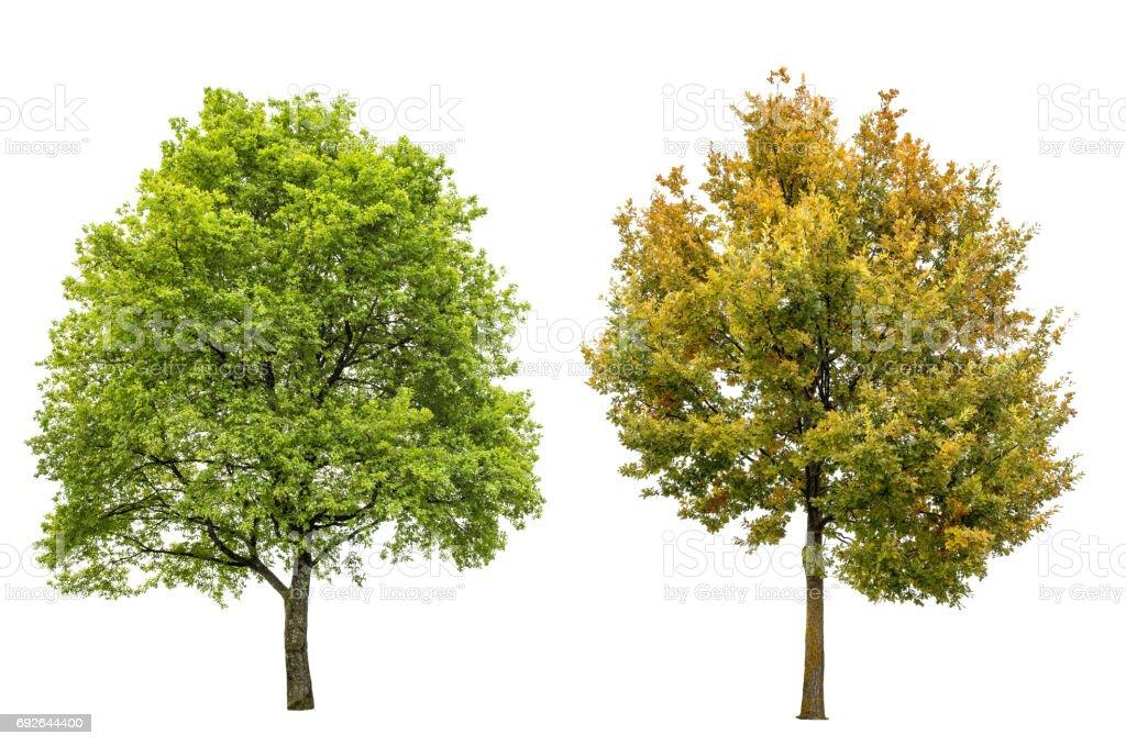 Arbre de printemps été automne chêne isolé fond blanc - Photo