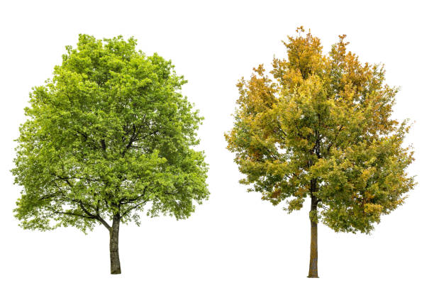 spring summer autumn oak tree isolated white background - deciduous stock pictures, royalty-free photos & images