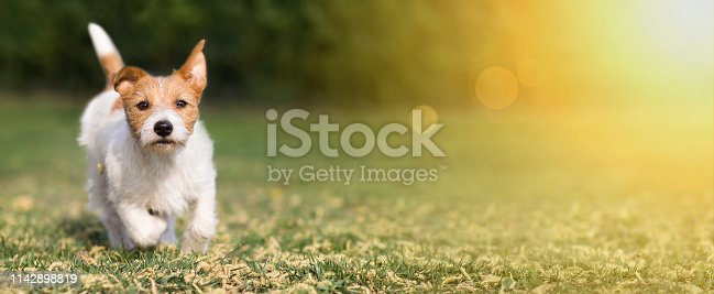 1053642922 istock photo Spring, summer concept - cute happy pet dog puppy playing in the grass, web banner 1142898819