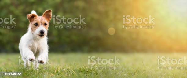 Spring summer concept playful happy dog running in the grass and picture id1199435587?b=1&k=6&m=1199435587&s=612x612&h=t0xpuogck9wns4tu2ia6pm8liz hsoqjfeqk xsg h4=