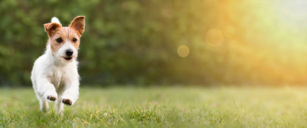 Spring summer concept playful happy dog running in the grass and picture id1199435587?b=1&k=6&m=1199435587&s=612x612&w=0&h=hzda4rbtbduunikxss4refm6vtmwypocqfwuoqpkxmu=