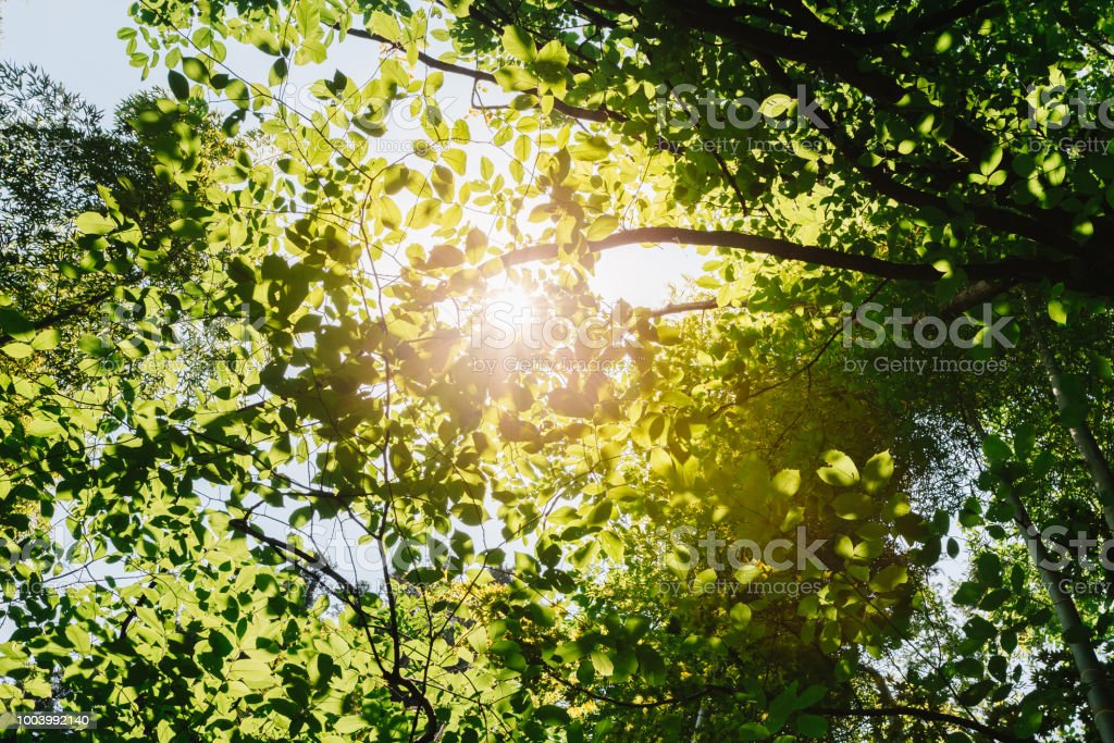Spring Sun Shining Through Canopy Of Tall Trees. Sunlight In Tropical Forest Summer Nature. Upper Branches Of Different Deciduous Trees - Stock image . & Spring Sun Shining Through Canopy Of Tall Trees Sunlight In Tropical ...